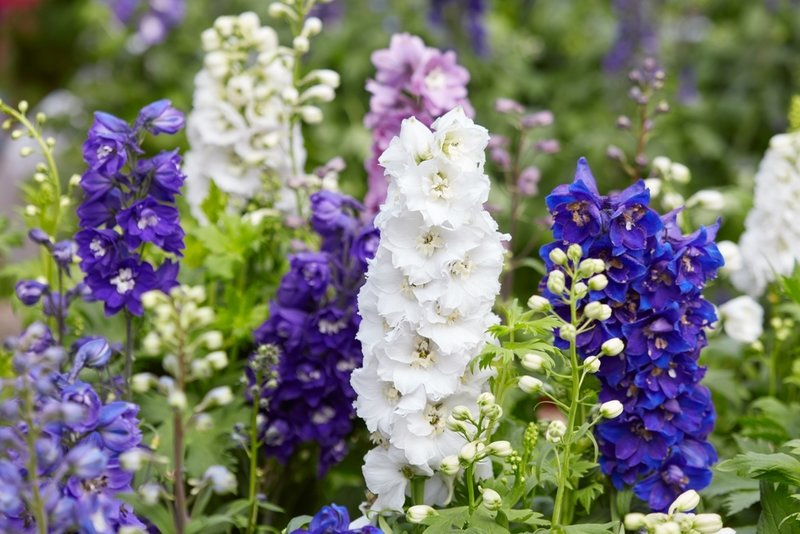 Delphiniums, lobelia and snaps